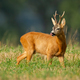 Attentive roe deer back licking his nose with tongue on field - PhotoDune Item for Sale