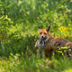 Affectionate red fox cub snuggling to mother on green meadow at sunrise - PhotoDune Item for Sale