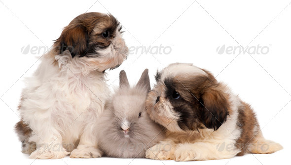 Two Shih-tzus playing with rabbit in front of white background - Stock Photo - Images