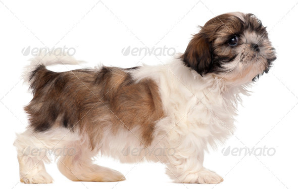 Brown and white Shih-tzu standing in front of white background - Stock Photo - Images