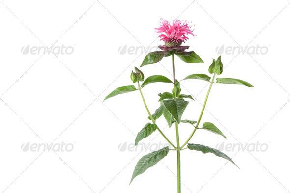 Fresh bee balm flower - Stock Photo - Images