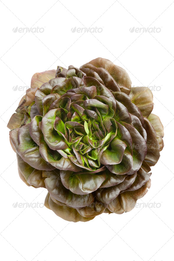 Fresh red Salanova lettuce - Stock Photo - Images