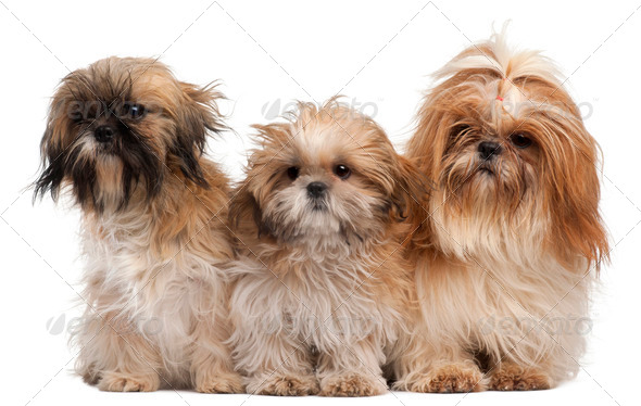 Three Shih-tzus in front of white background - Stock Photo - Images