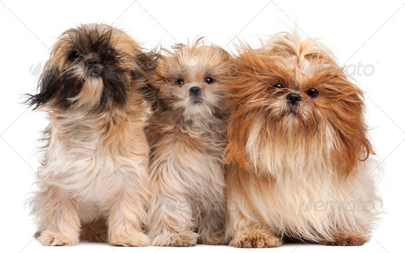 Three Shih-tzus with windblown hair in front of white background - Stock Photo - Images