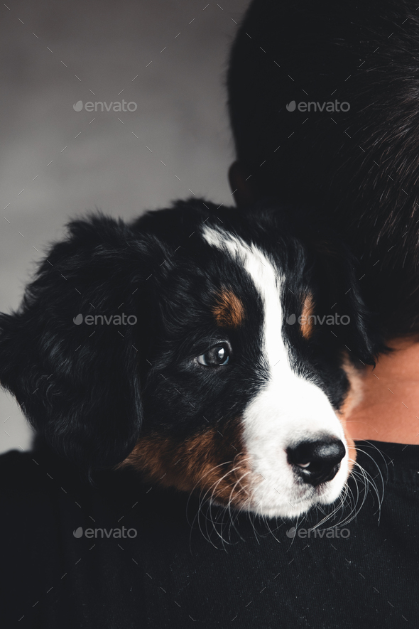 Young, Bernese Mountain Dog in the hands. Close-up, white isolated background - Stock Photo - Images