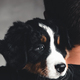 Young, Bernese Mountain Dog in the hands. Close-up, white isolated background - PhotoDune Item for Sale