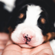Little puppy of Bernese Mountain Dog in bed. Cute animals - PhotoDune Item for Sale