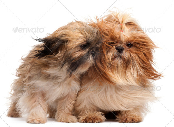 Two Shih-tzus with windblown hair in front of white background - Stock Photo - Images