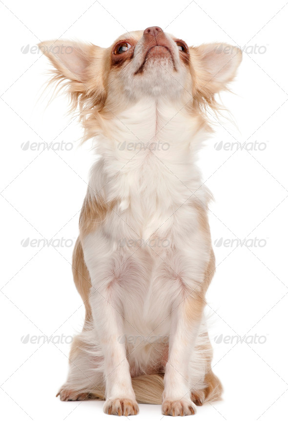 Chihuahua looking up in front of white background - Stock Photo - Images