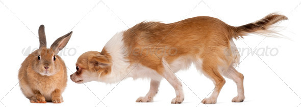 Chihuahua sniffing rabbit in front of white background - Stock Photo - Images
