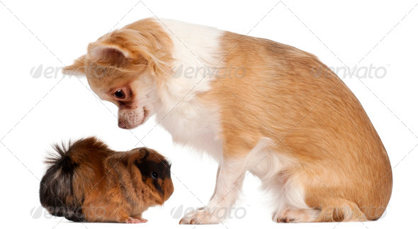 Chihuahua looking at guinea pig in front of white background - Stock Photo - Images