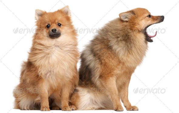 Two Spitz dogs, 1 year old, sitting in front of white background - Stock Photo - Images