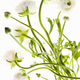 Delicate flowers with long thin stalks on a white background. - PhotoDune Item for Sale