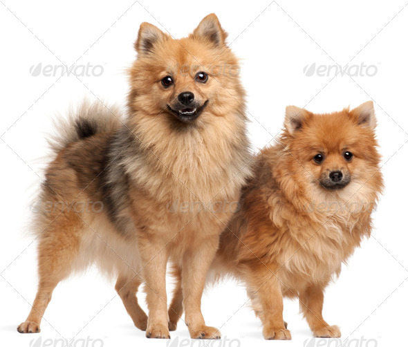 Two Spitz dogs, 1 year old, standing in front of white background - Stock Photo - Images