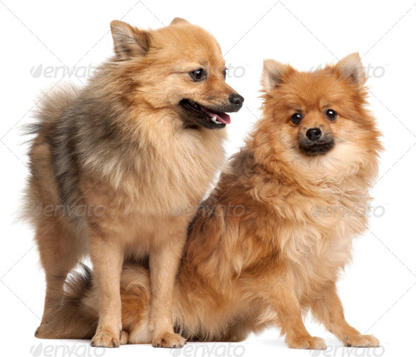 Two Spitz dogs, 1 year old, in front of white background - Stock Photo - Images