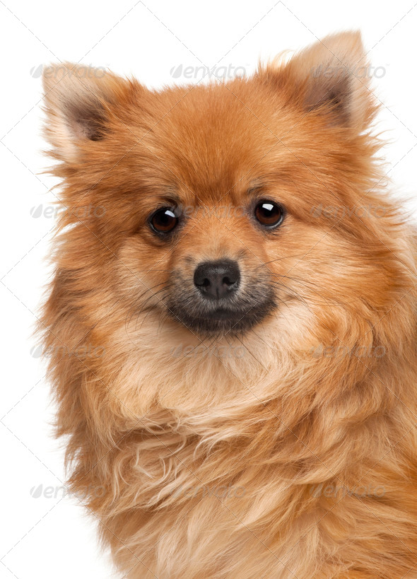 Spitz dog, 1 year old, in front of white background - Stock Photo - Images