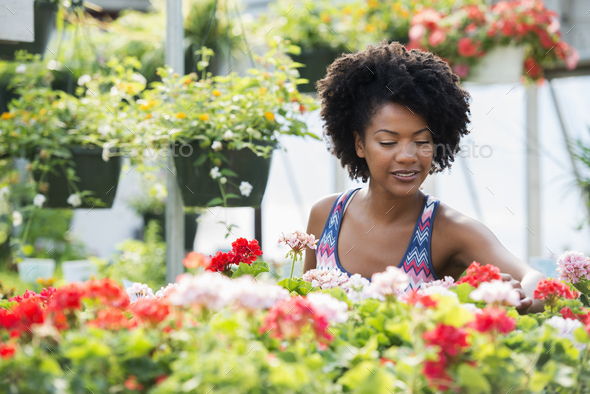 A woman working amongst flowering plants. Red and white geraniums on a workbench. - Stock Photo - Images
