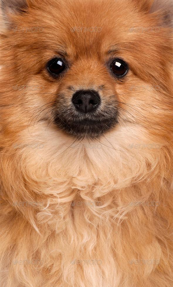 Close-up of Spitz dog, 1 year old - Stock Photo - Images