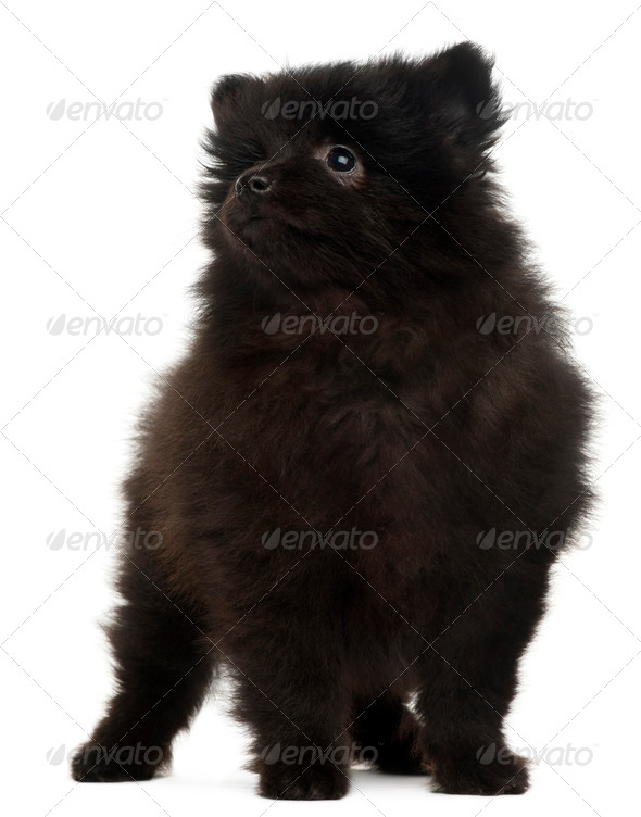 Spitz puppy, 2 months old, standing in front of white background - Stock Photo - Images