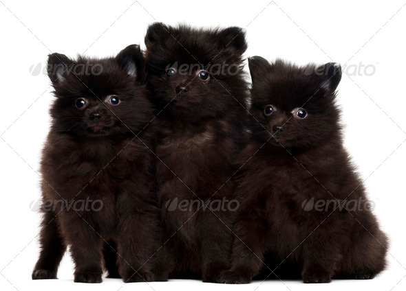 Three Spitz puppies, 2 months old, sitting in front of white background - Stock Photo - Images