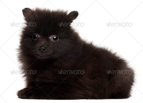 Spitz puppy, 2 months old, lying in front of white background - Stock Photo - Images
