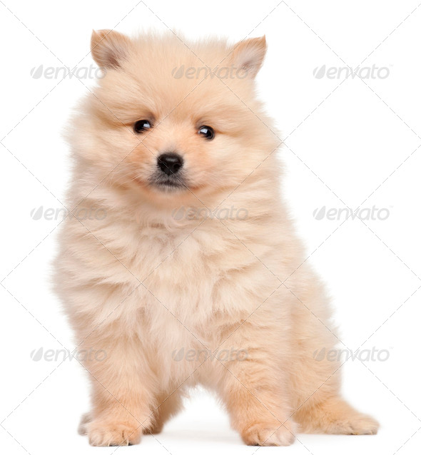Spitz puppy, 2 months old, sitting in front of white background - Stock Photo - Images