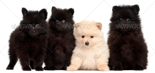 Four Spitz puppies, 2 months old, in front of white background - Stock Photo - Images
