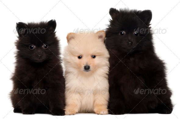 Three Spitz puppies, 2 months old, in front of white background - Stock Photo - Images
