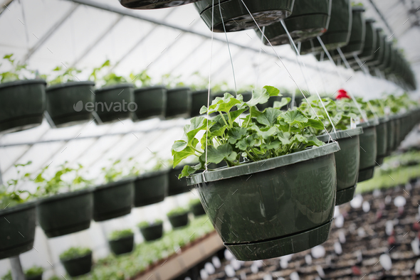 Spring growth in an organic plant nursery. A glasshouse with hanging baskets and plant seedlings. - Stock Photo - Images