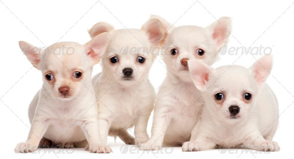 Four Chihuahua puppies, 2 months old, in front of white background - Stock Photo - Images