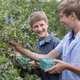An organic fruit farm. Two boys picking the berry fruits from the bushes. - PhotoDune Item for Sale