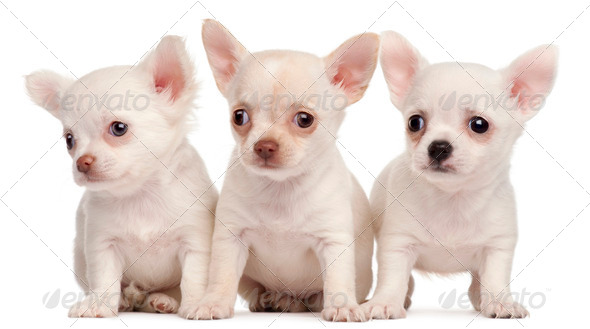 Three Chihuahua puppies, 2 months old, in front of white background - Stock Photo - Images