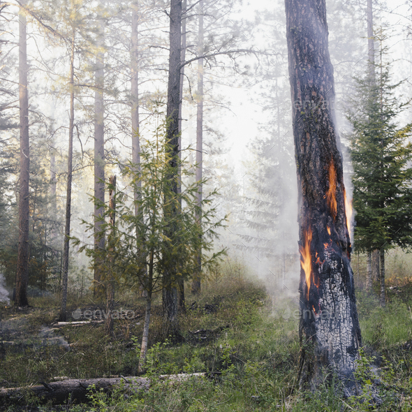 A controlled forest burn set to encourage regrowth and a more sustainable forest ecosystem - Stock Photo - Images