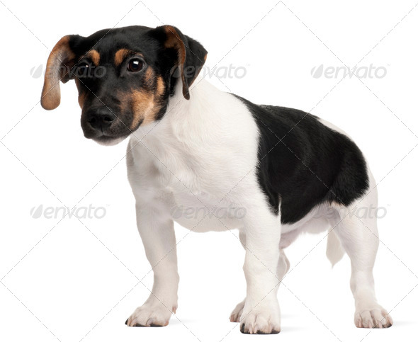 Jack Russell Terrier puppy, 5 months old, standing in front of white background - Stock Photo - Images