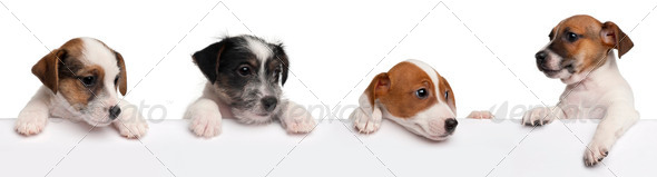 Jack Russell Terrier puppies, 2 months old, getting out of a box in front of white background - Stock Photo - Images