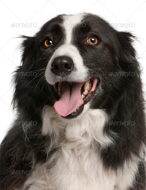 Close-up of Border Collie panting, 5 years old, in front of white background - Stock Photo - Images