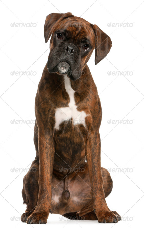 Boxer sitting in front of white background - Stock Photo - Images