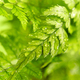Fern house plant macro - PhotoDune Item for Sale
