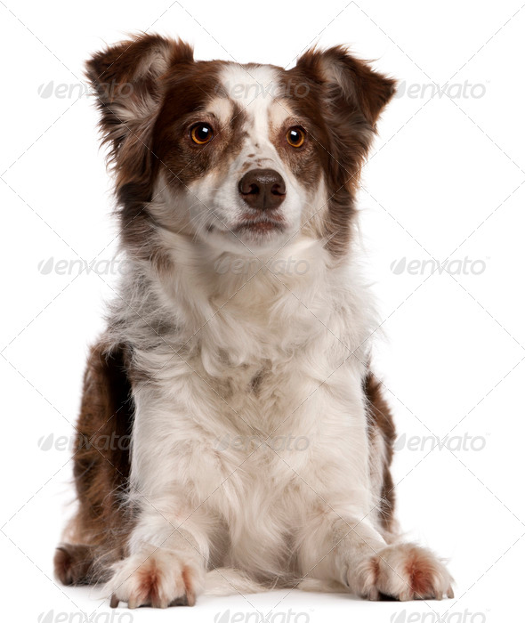 Border Collie, 8 months old, sitting in front of white background - Stock Photo - Images