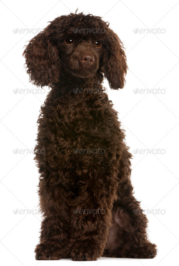 Poodle, 5 months old, sitting in front of white background - Stock Photo - Images