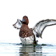 Ferruginous duck (Aythya nyroca) - PhotoDune Item for Sale