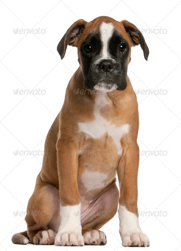 Boxer puppy, 3 months old, sitting in front of white background - Stock Photo - Images