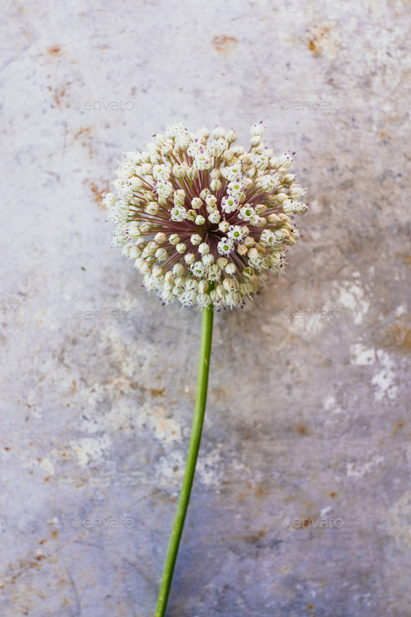 Wild leek flower - Stock Photo - Images