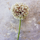 Wild leek flower - PhotoDune Item for Sale