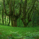 Elderly and powerful moss covered oak trees - PhotoDune Item for Sale