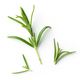 fresh green rosemary - PhotoDune Item for Sale