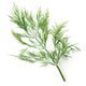 fresh dill leaves - PhotoDune Item for Sale