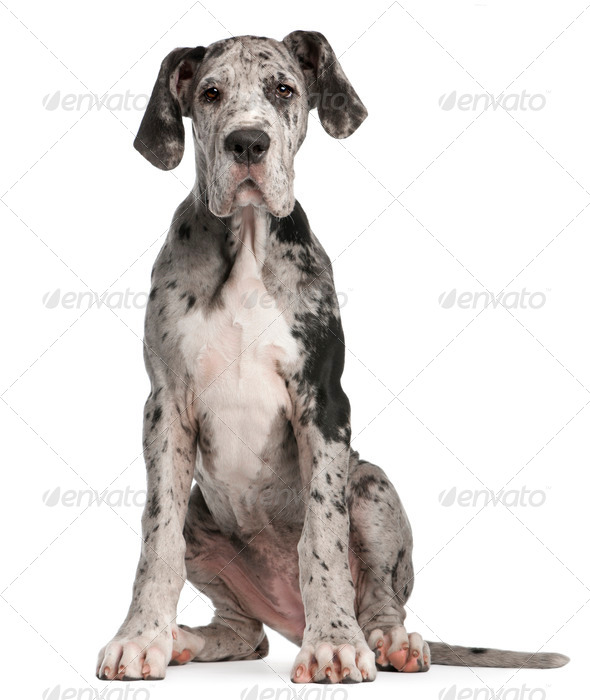 Great Dane puppy, 3 months old, sitting in front of white background - Stock Photo - Images