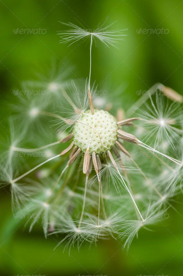 Dandelion seeds - Stock Photo - Images