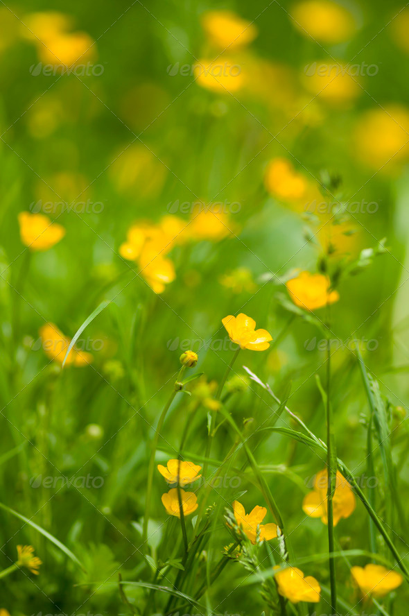 yelllow flowers and grass - Stock Photo - Images